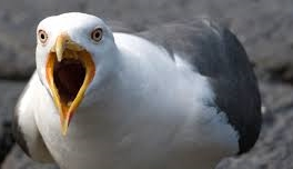 A seagull with its mouth open, squawking.