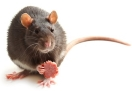 Picture of a black rat